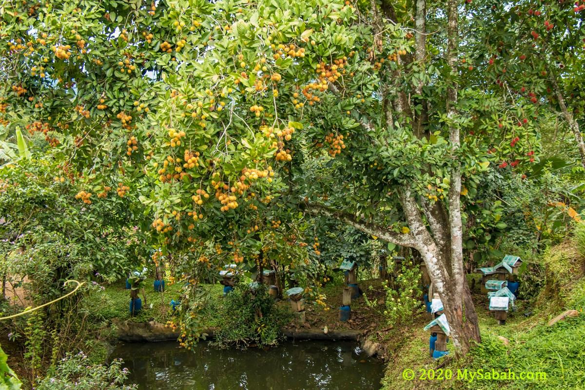 Kelulut bee farm under rambutan tree