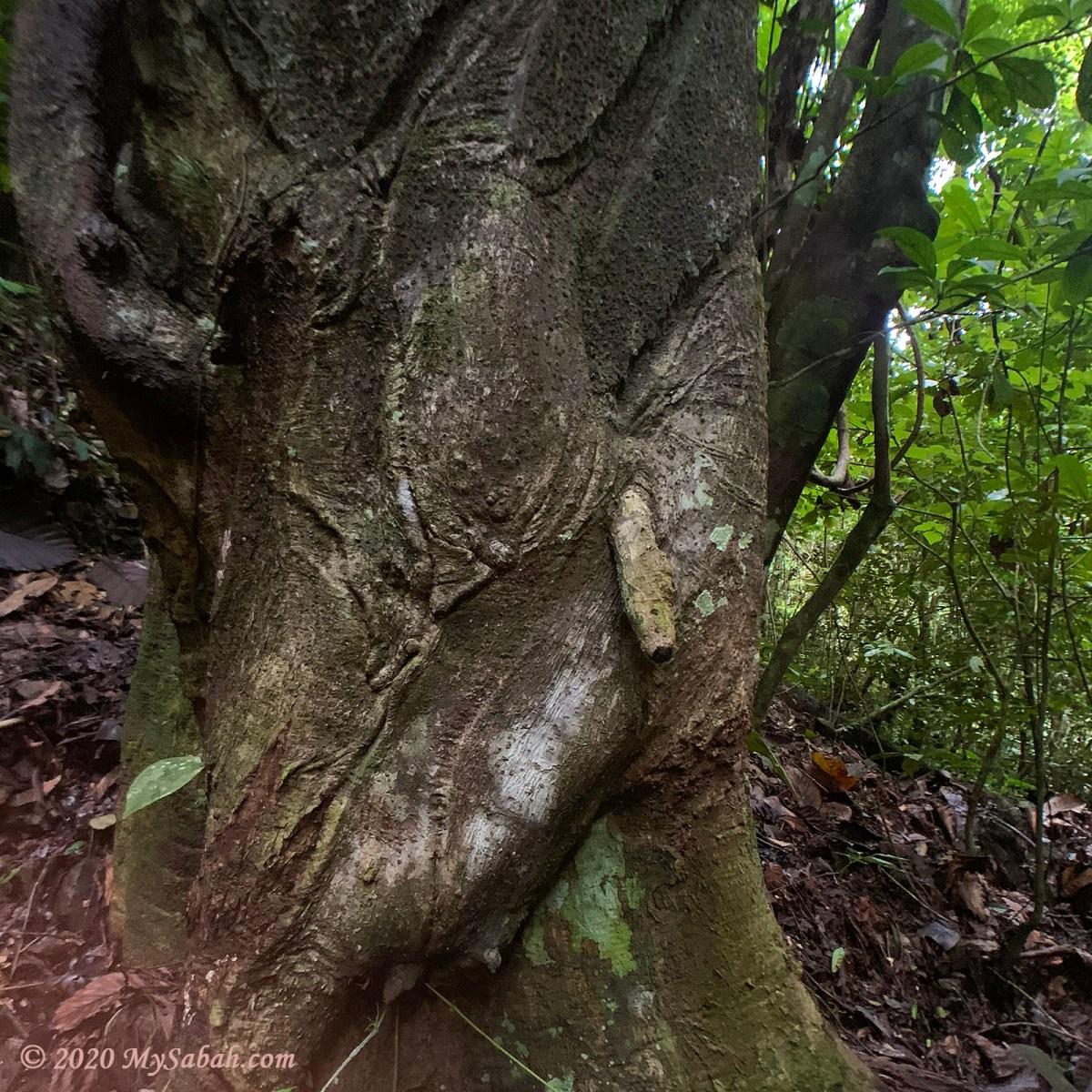 A strange tree near to Batu Nenen (Boobs Rock)