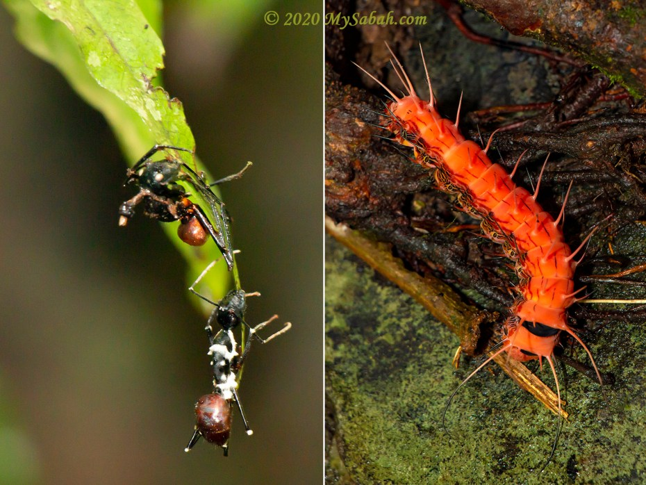 Left: zombie forest ants infected by parasitic fungus (commonly known as Cordyceps). Right: big caterpillar