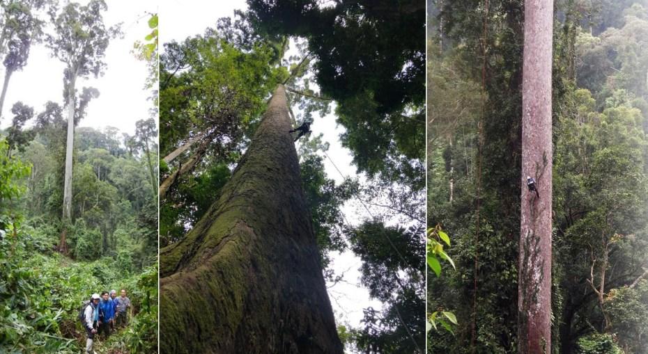 Photos of Shorea faguetiana trees
