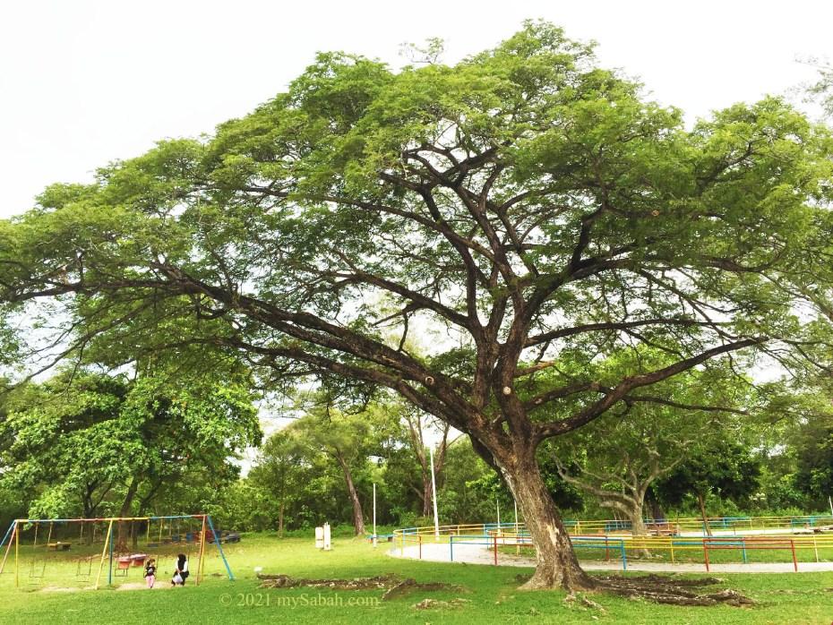 An old rain tree at Tanjung Aru Second Beach