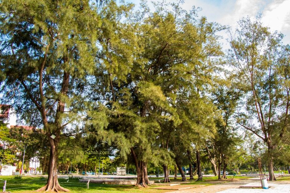 Casuarina trees at Tanjung Aru Beach