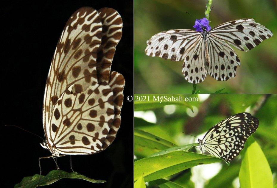 Sabah butterflies in Danaidae family