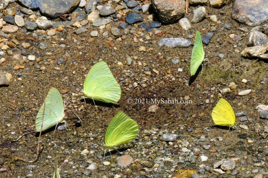 Group of Eurema hecabe hecabe butterflies sipping mineral-rich water at river bank of Poring Hot Springs