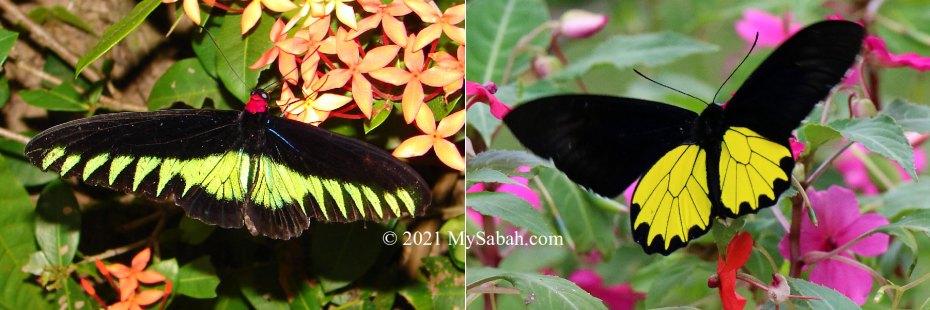 Rajah Brooke's Birdwing and Borneo / Kinabalu Birdwing butterflies