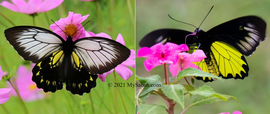 Borneo or Kinabalu Birdwing Butterfly (Troides andromache andromache) sipping nectar from flowers