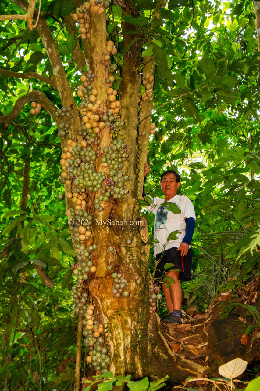 Fruiting liposu / limpasu tree