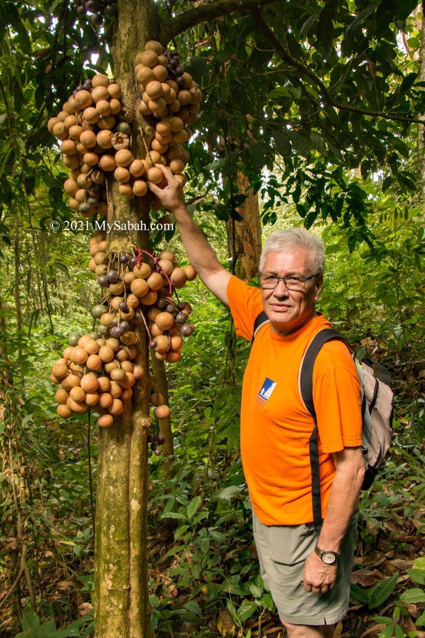 Liposu tree with fruits