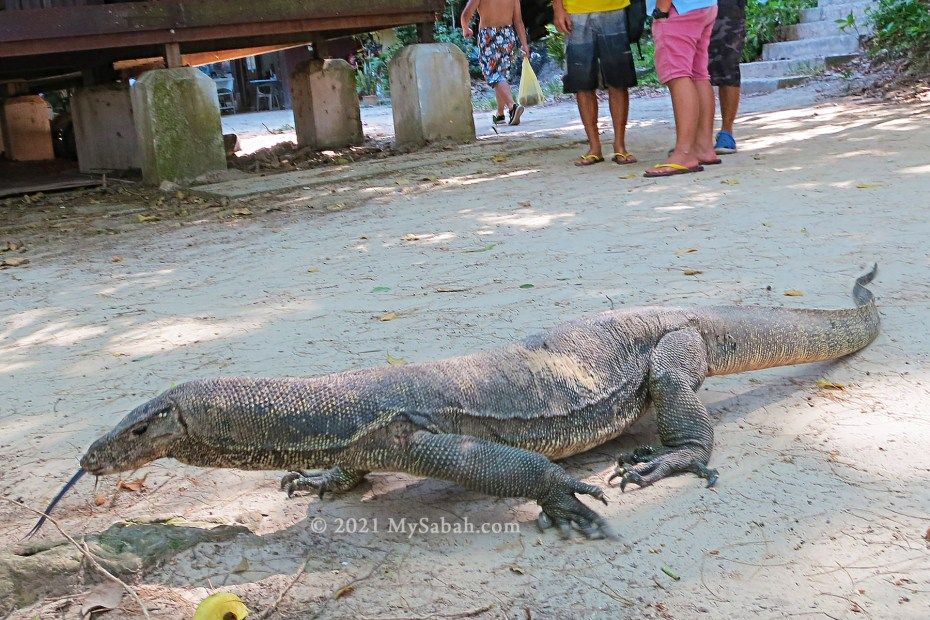Monitor lizard on the island