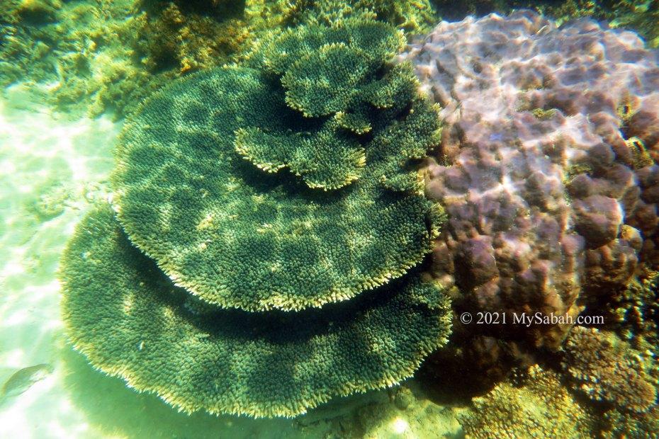 Hard corals of Tunku Abdul Rahman Marine Park