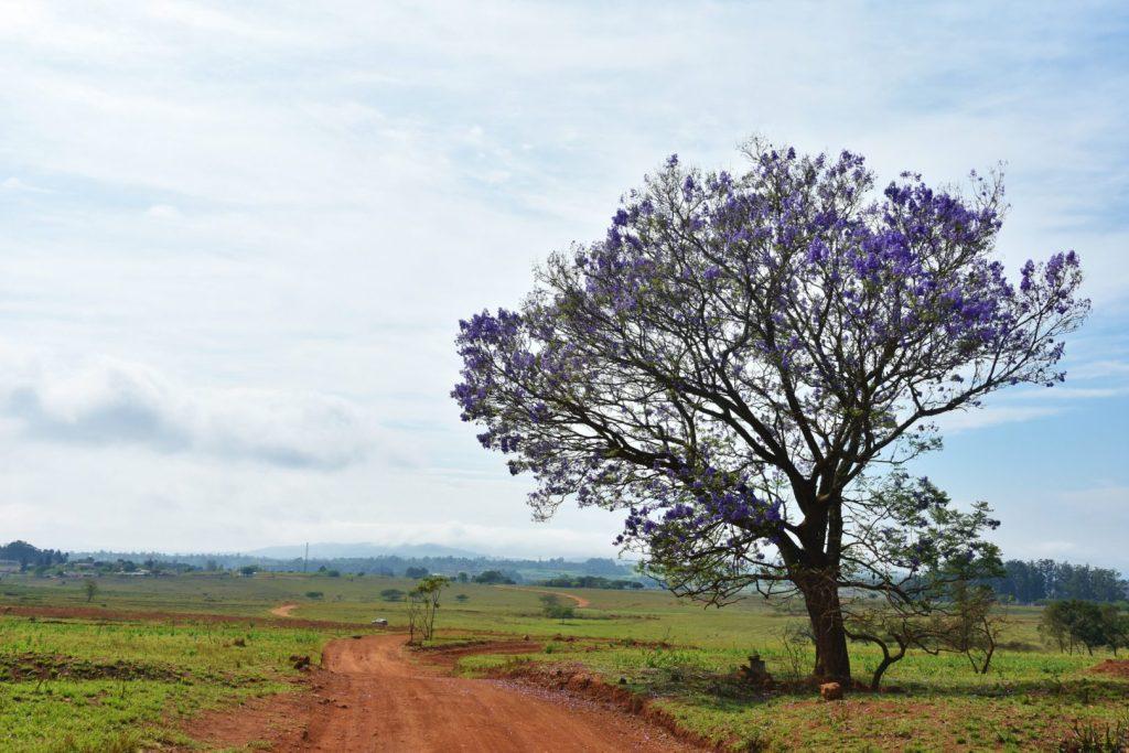 Jacaranda nello Swaziland