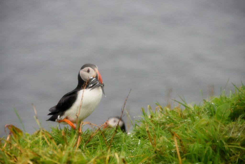Puffin a Mykines Isole Faroe