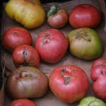 All are tomatoes at the Farmer's Market
