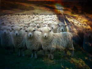 SheepComposit