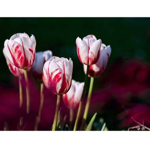Tulip Dutch Canvas art