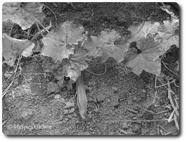 Ridge gourd creeper, ridge gourd plant, Black & White Wednesday, Chinese okra