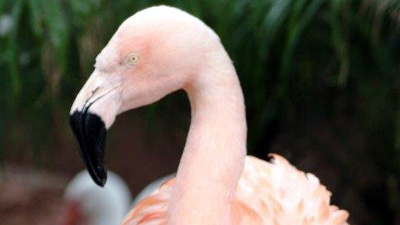 Pinky-the-Flamingo-jpg_20160804032530-159532