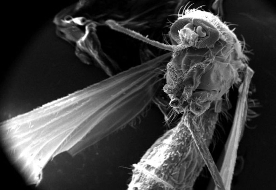 The front half of that familiar pest, the mosquito, which spreads many diseases, including malaria, yellow fever and West Nile virus. This insect was found dead in the suburbs of Decatur, Georgia, and was missing a number of its body parts, including its
