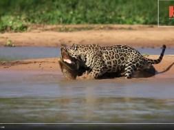Τζάγκουαρ επιτίθεται σε κροκόδειλο