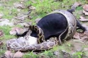 Πύθωνας τρώει ολόκληρη κατσίκα