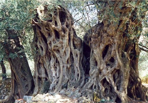 Ελιά (Olea europaea) του Πεισίστρατου