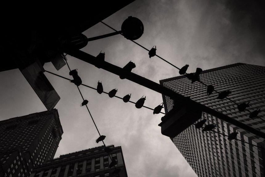Noir photography Mike Maguire - Pigeons