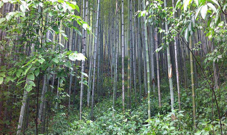 Bamboo is the most sustainable resources in the world