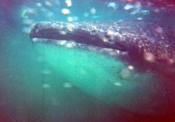 Whale shark mouth.