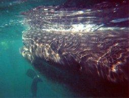 Whale shark head.