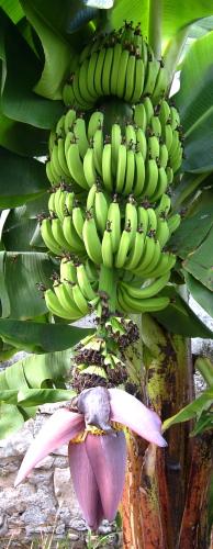 Banana III