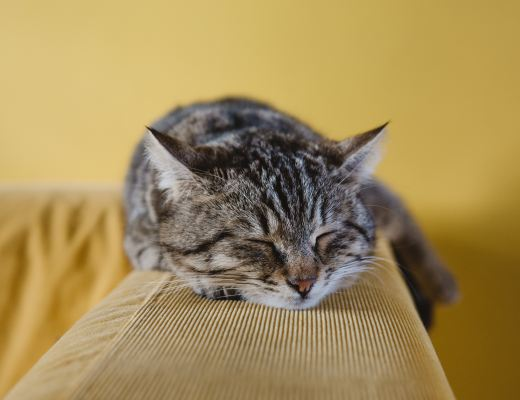A grey tabby cat sleeping on a mustard yellow settee arm