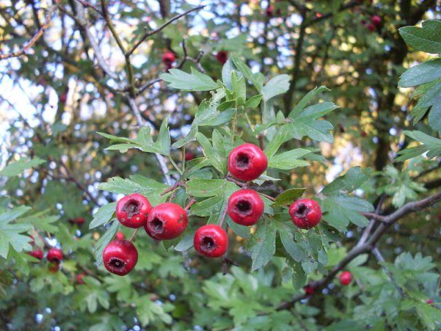 Hawthorn_fruit
