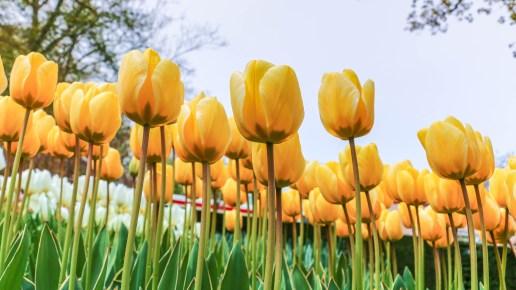 Kuekenhof Park, Holland – Tales of the Tulips
