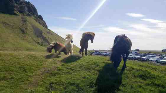 Icelandic Horses is one of the 10 Reasons Why Iceland Should Be Your Next Trip