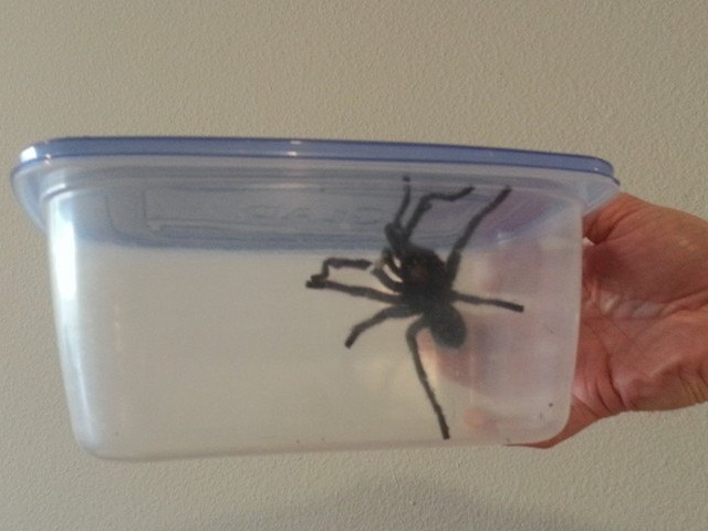 Spinnen in Kalifornien