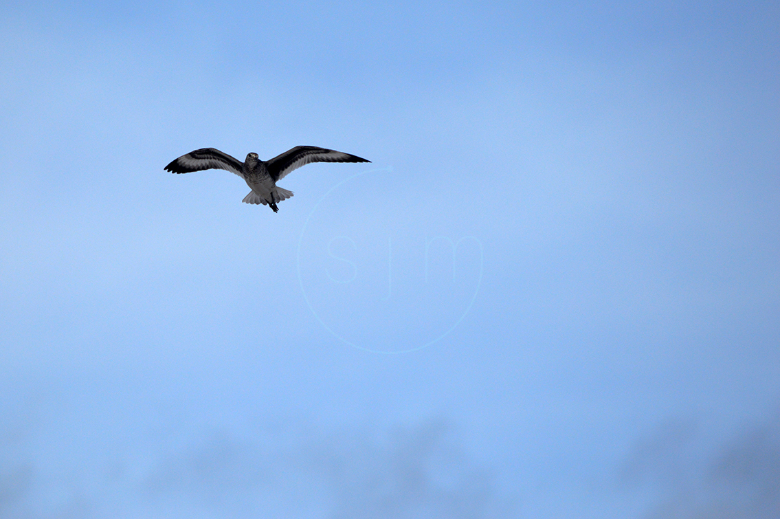 Willet Flying Over Head