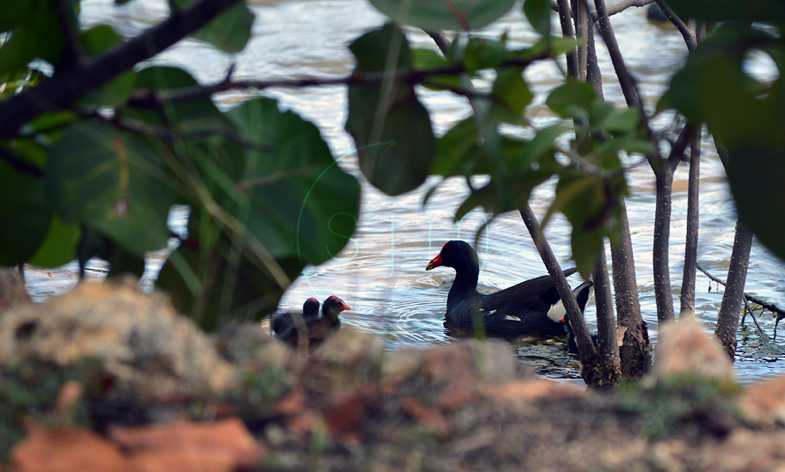 Common Gallinule & Chicks