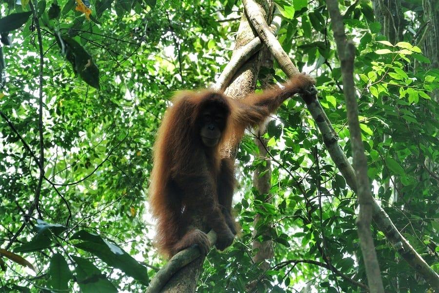 reis Sumatra