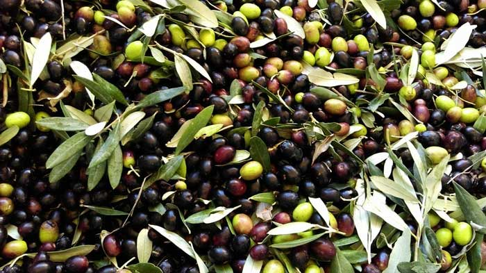 Olive della Tuscia