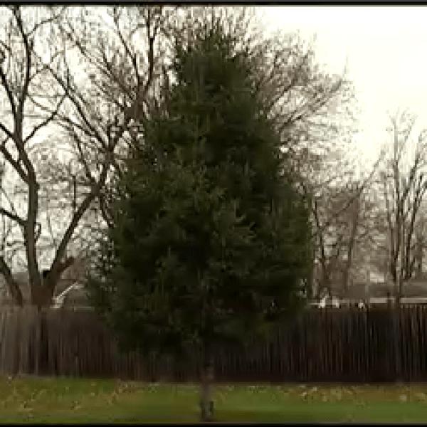 arctic league christmas tree