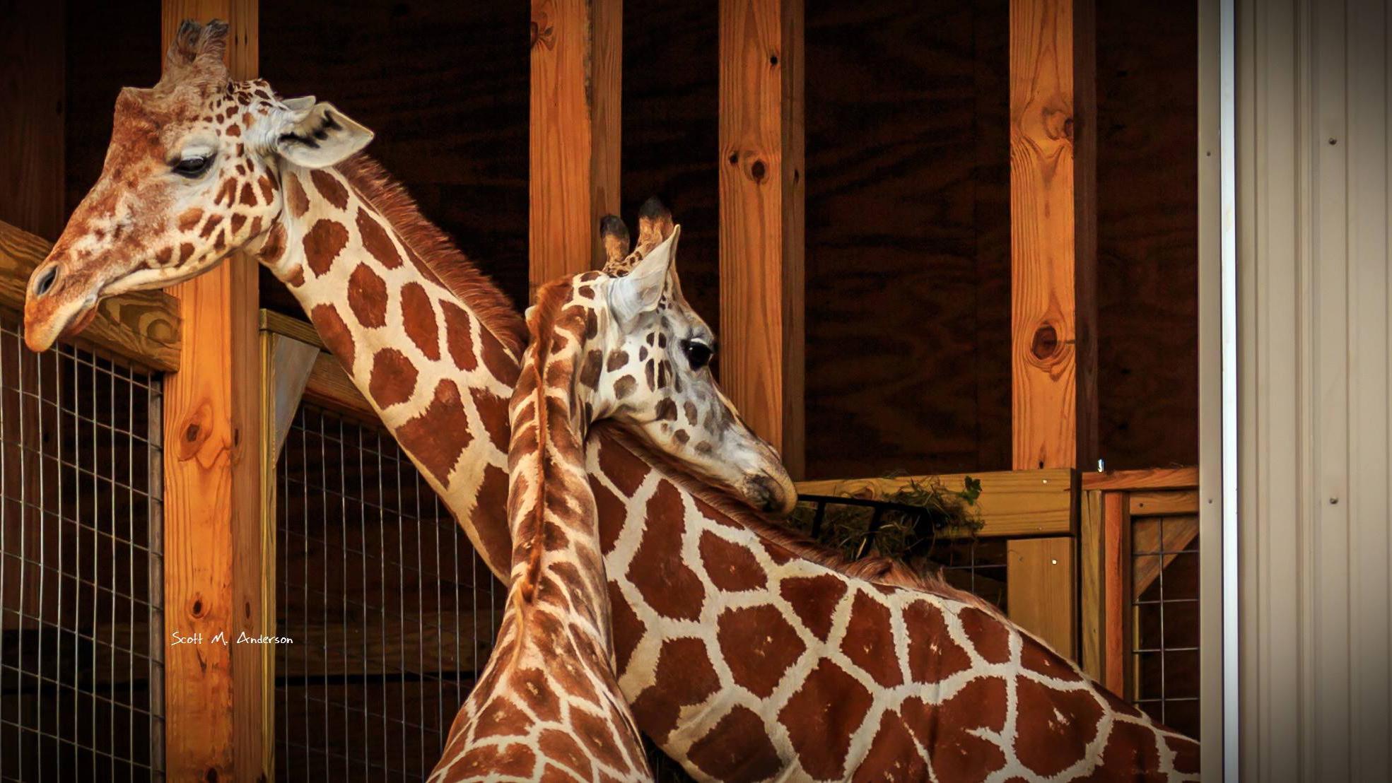 giraffes-april-oliver_1537974198700.jpg
