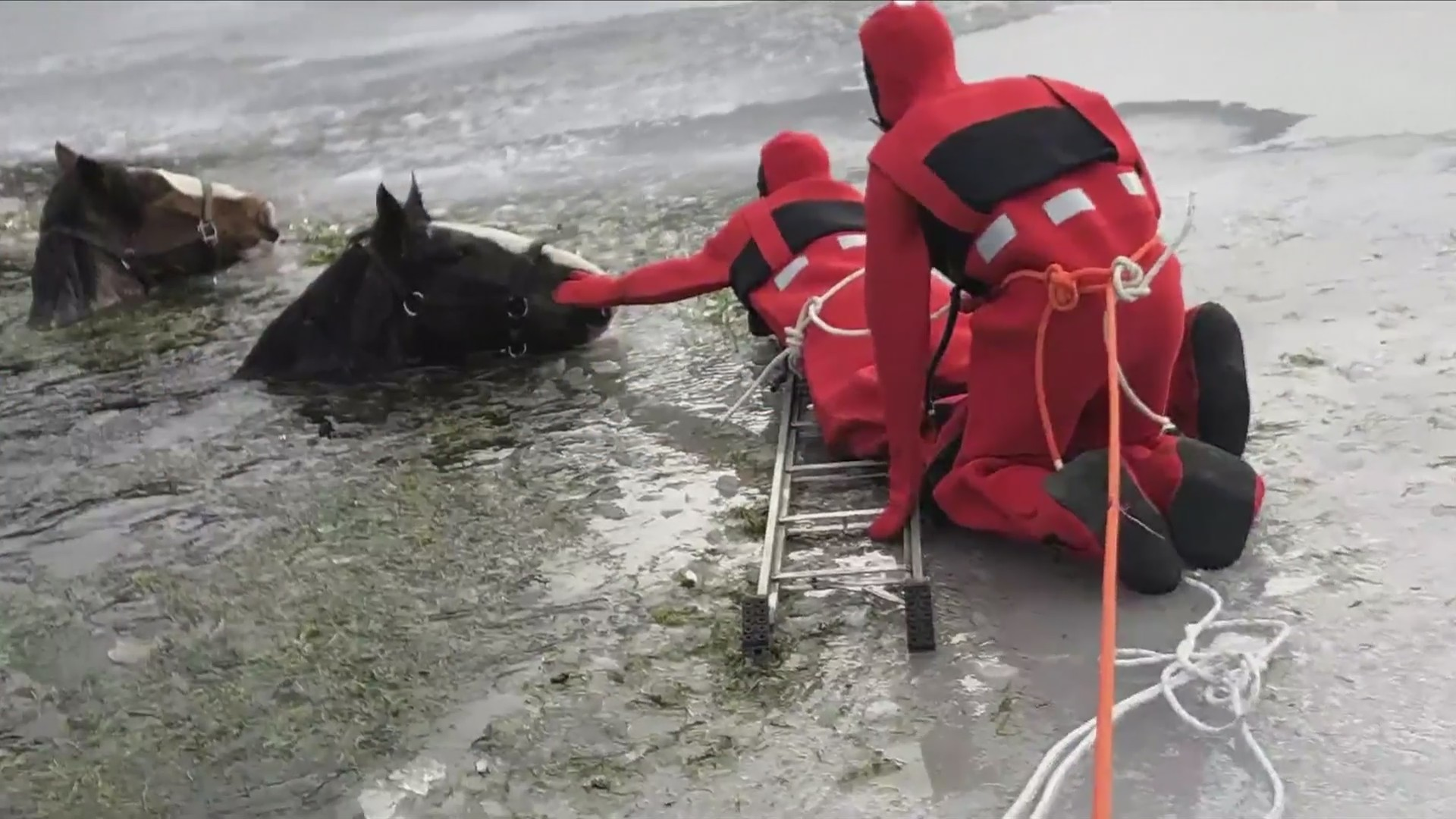 Harrowing horse rescues in icy lake