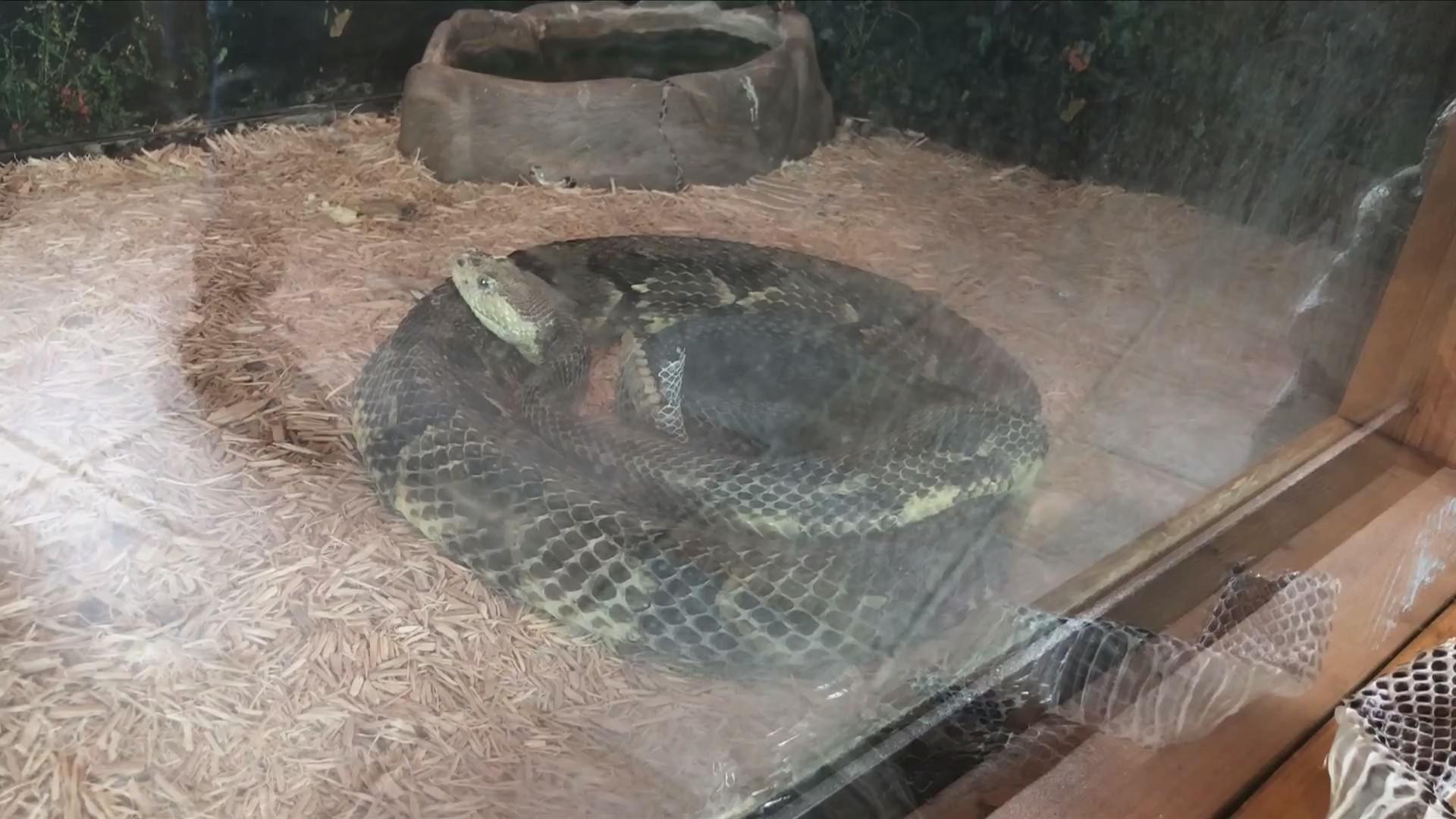 Rattlesnake season