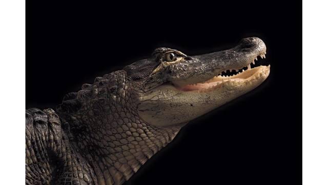 stolen alligator new lebanon_1559351666642.jpg_90144619_ver1.0_640_360_1559395220944.jpg.jpg