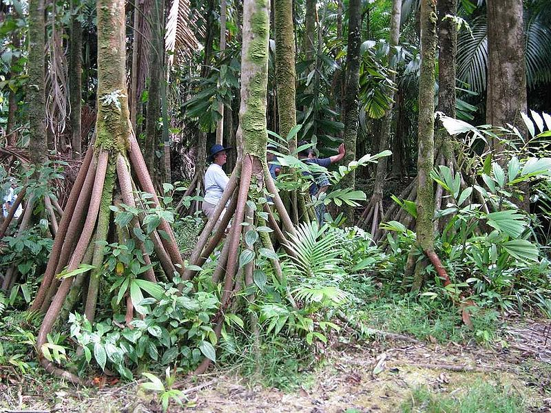 walking tree, peru, jungle, Amazon, Rainforest, adventure, peculiar plants