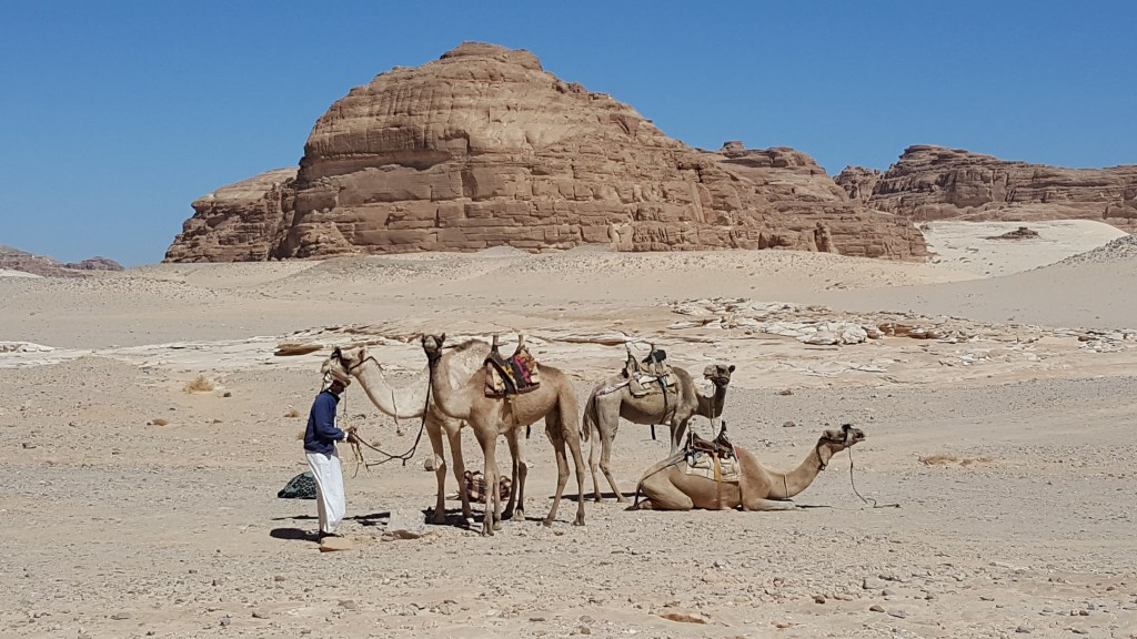 camels, bedouins, Egypt, Sinai trail, hiking