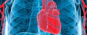 Anatomy of the human heart and cardiovascular system | myVMC