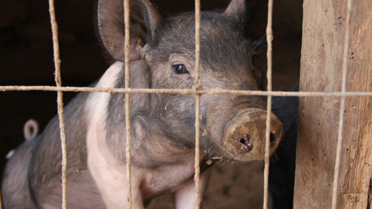 Pig.jpg_1556063718606.jpg