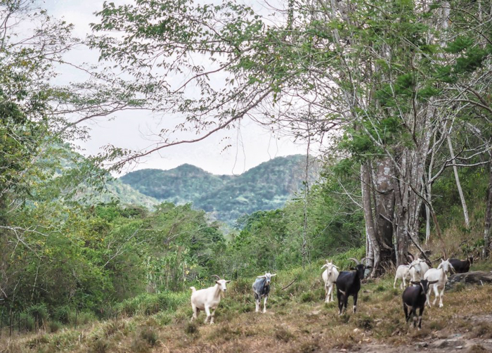 Black Rock Lodge | Belize | Goats in the jungle at Black Rock Lodge in San Ignacio, Belize