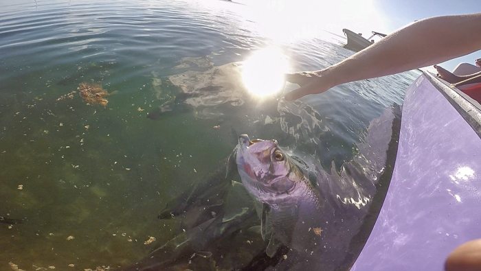 Snorkeling | Belize | Feeding tarpons with Caveman Snorkeling Tours in Caye Caulker, Belize
